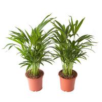 thumb-Goudpalm (Areca / Dypsis Palm) (PNLDYP17 - 17x65 cm)-4