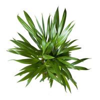 thumb-Goudpalm (Areca / Dypsis Palm) (PNLDYP17 - 17x65 cm)-5