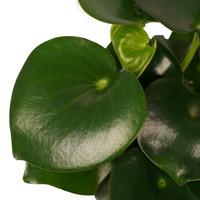 thumb-Decorum Peperomia Raindrop Feel Green (640255 - 14x35 cm)-2