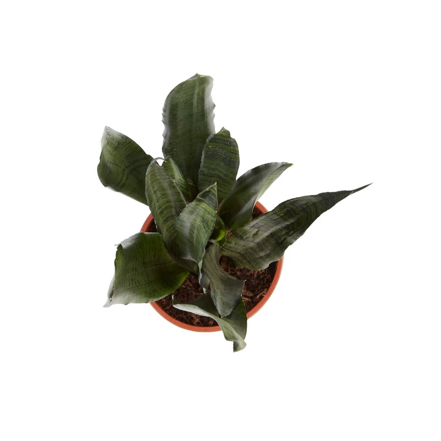 Sanseveria, vrouwentong (Sanseveria Zeylanica - 17x50 cm)-3