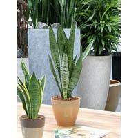 thumb-Sanseveria, vrouwentong (Sanseveria Zeylanica - 17x50 cm)-4