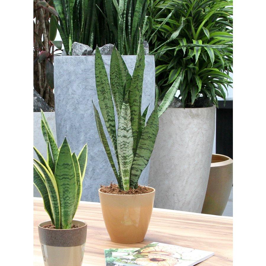 Sanseveria, vrouwentong (Sanseveria Zeylanica - 17x50 cm)-4