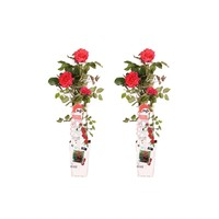 """Duo """"Rosa Crazy in love Red"""" (Klimroos) (15x65 cm)"""