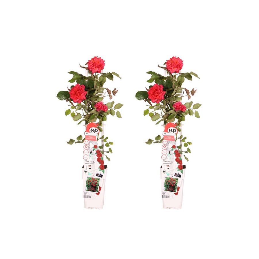 """Duo """"Rosa Crazy in love Red"""" (Klimroos) (15x65 cm)-1"""