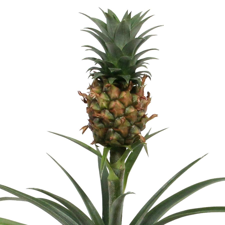 Ananas Corona single (Cor01 - 12x35 cm)-3