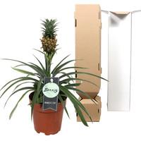 thumb-Ananas Corona single (Cor01 - 12x35 cm)-4