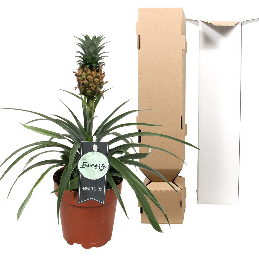 Ananas Corona single (Cor01 - 12x35 cm)-4