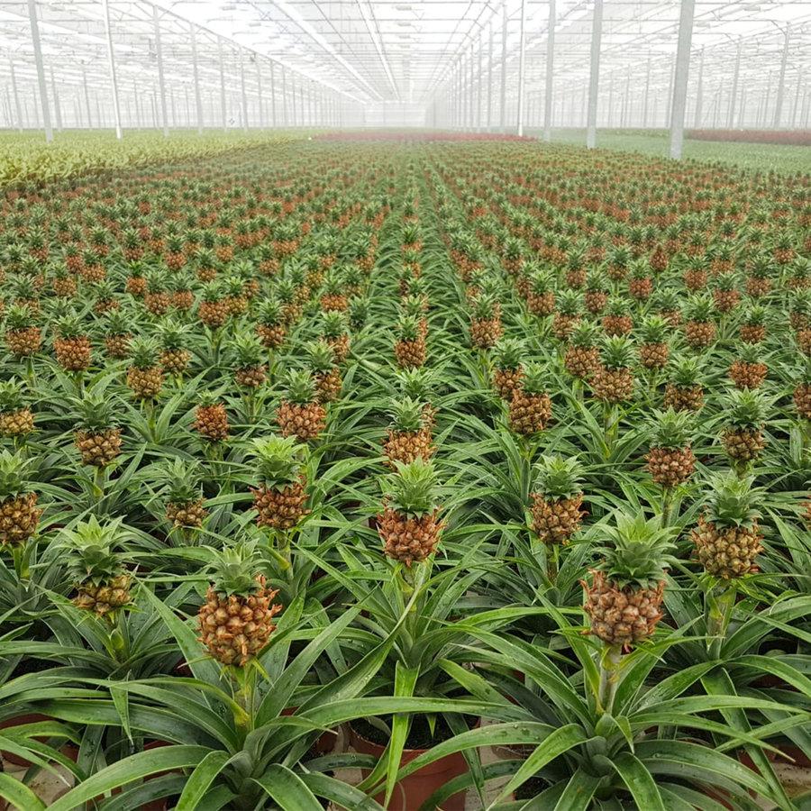 Ananas Corona single (Cor01 - 12x35 cm)-5