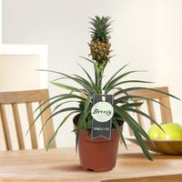 thumb-Ananas Corona single (Cor01 - 12x35 cm)-7