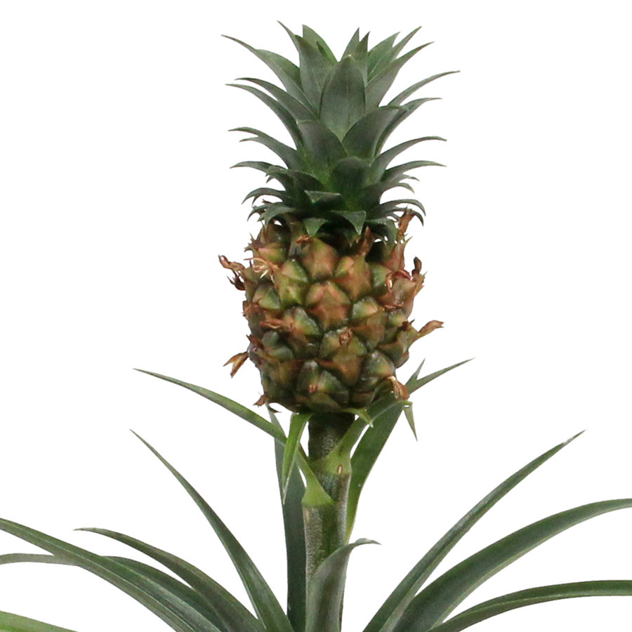 Ananas Corona double (Cor02 - 12x35 cm)-3