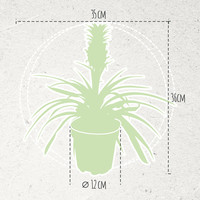 thumb-Ananas Corona double (Cor02 - 12x35 cm)-5
