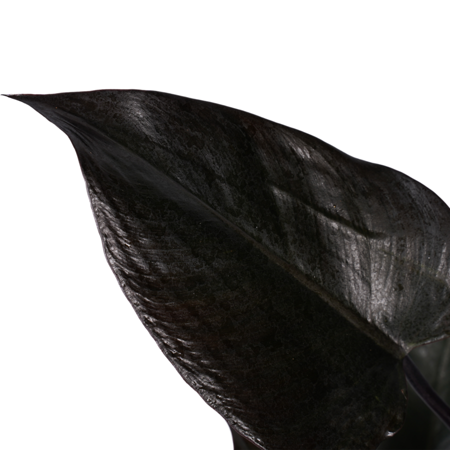 Decorum Philodendron Ruby  - Pyramide in ELHO Round (soap) (DECORUM-RB19 - 20x70 cm)-2