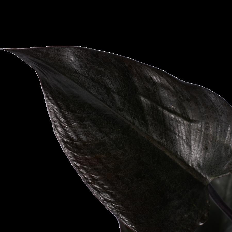 Decorum Philodendron Ruby  - Pyramide in ELHO Round (zwart) (DECORUM-RB19 - 20x70 cm)-2