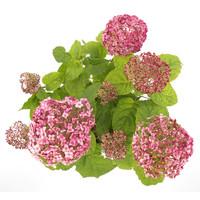 thumb-Hydrangea 'Sweet Annabelle' ® (SKHYDR19SWANB - 19x25 cm)-2