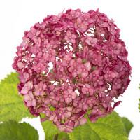 thumb-Hydrangea 'Sweet Annabelle' ® (SKHYDR19SWANB - 19x25 cm)-3
