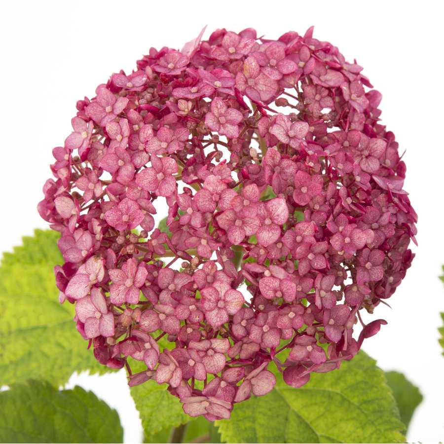Hydrangea 'Sweet Annabelle' ® (SKHYDR19SWANB - 19x25 cm)-3