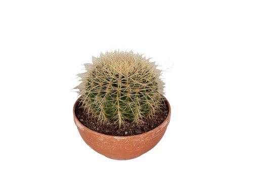 Echinocactus grusonii in schaal (CAN21 - 23x25 cm)
