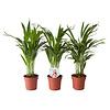Goudpalm (Areca / Dypsis Palm) (PNLDYP12 - 12x45 cm)