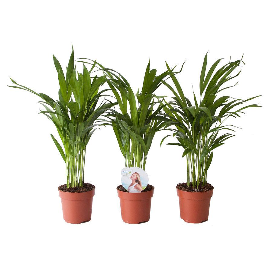 Goudpalm (Areca / Dypsis Palm) (PNLDYP12 - 12x45 cm)-1