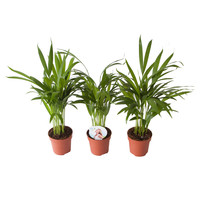 thumb-Goudpalm (Areca / Dypsis Palm) (PNLDYP12 - 12x45 cm)-2
