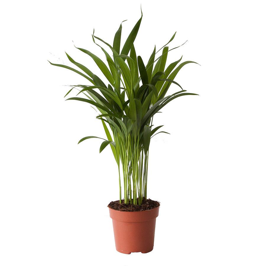 Goudpalm (Areca / Dypsis Palm) (PNLDYP12 - 12x45 cm)-3