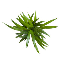 thumb-Goudpalm (Areca / Dypsis Palm) (PNLDYP12 - 12x45 cm)-4