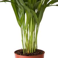 thumb-Goudpalm (Areca / Dypsis Palm) (PNLDYP12 - 12x45 cm)-5