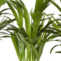 thumb-Goudpalm (Areca / Dypsis Palm) (PNLDYP12 - 12x45 cm)-6