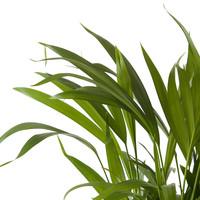 thumb-Goudpalm (Areca / Dypsis Palm) (PNLDYP12 - 12x45 cm)-7