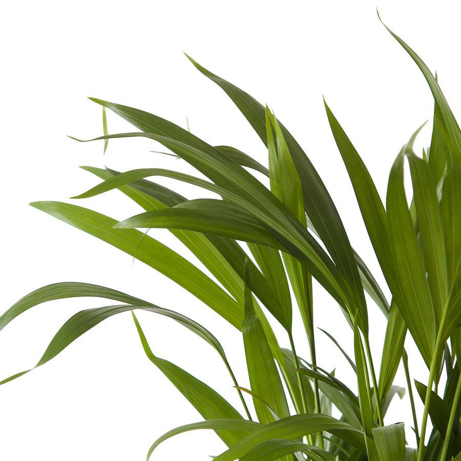 Goudpalm (Areca / Dypsis Palm) (PNLDYP12 - 12x45 cm)-7