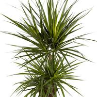 thumb-Dracaena Marginata (Drakenbloedboom - 24x105 cm)-2