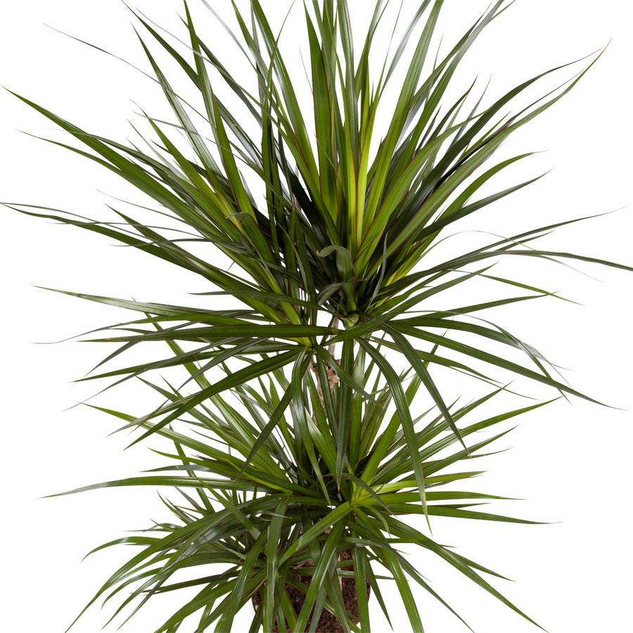 Dracaena Marginata (Drakenbloedboom - 24x105 cm)-2
