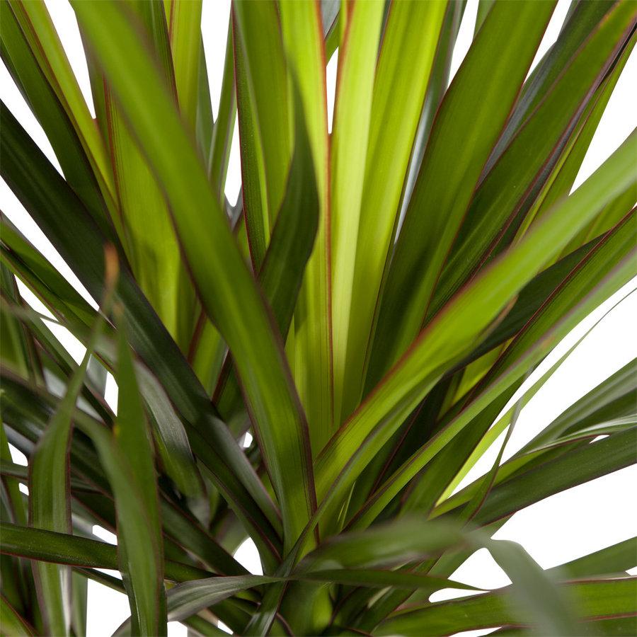 Dracaena Marginata (Drakenbloedboom - 24x105 cm)-4