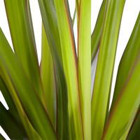 thumb-Dracaena Marginata (Drakenbloedboom - 24x105 cm)-5
