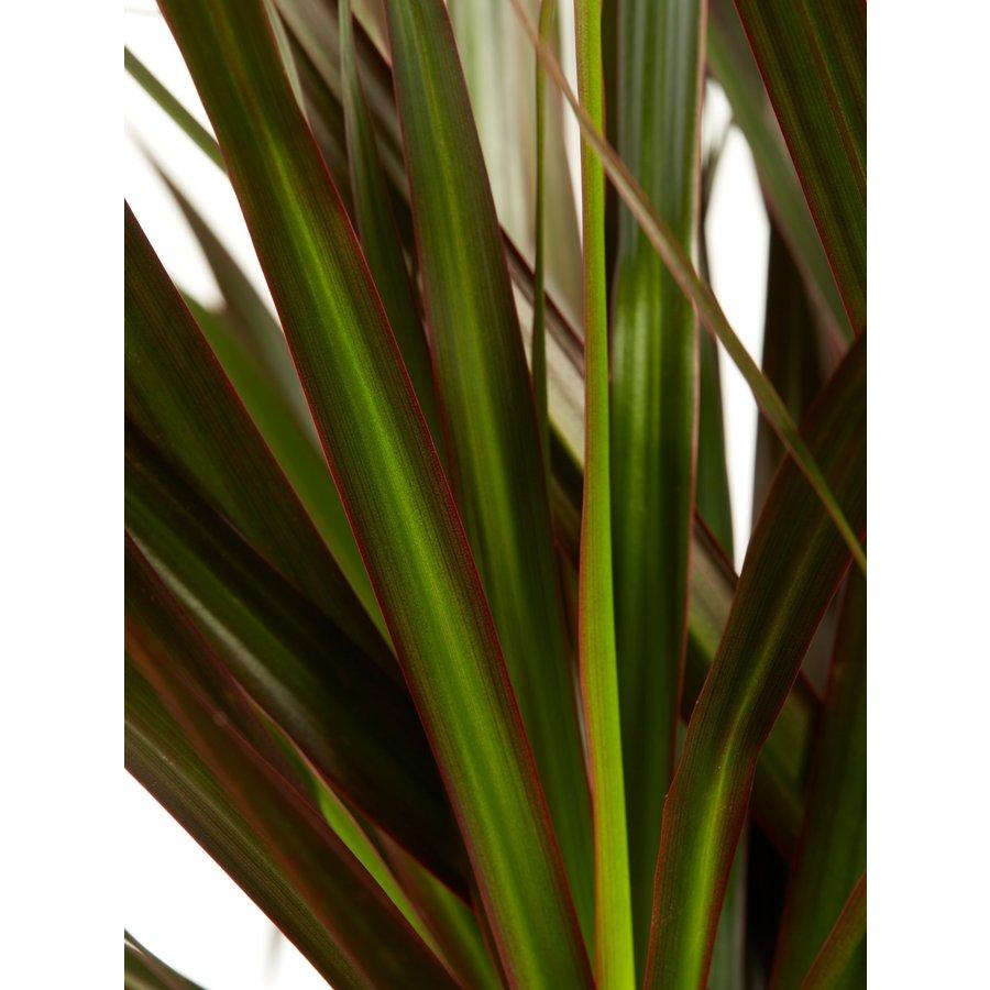 Dracaena Marginata (24x125 cm)-4