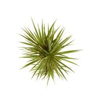 thumb-Dracaena Bicolour (Dracaena marginata Bicolour - 24x125 cm)-3