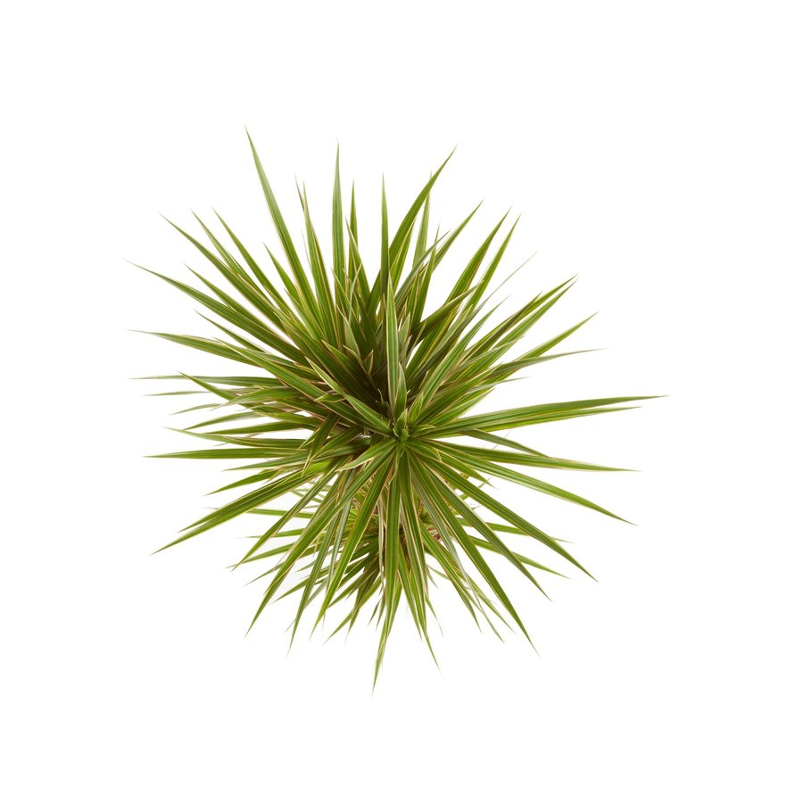 Dracaena Bicolour (Dracaena marginata Bicolour - 24x125 cm)-3