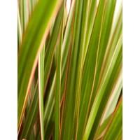 thumb-Dracaena Bicolour (Dracaena marginata Bicolour - 24x125 cm)-4