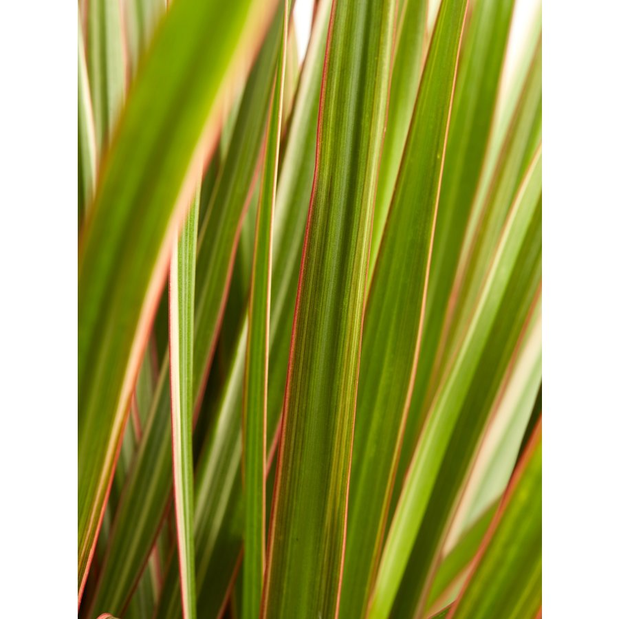 Dracaena Bicolour (Dracaena marginata Bicolour - 24x125 cm)-4