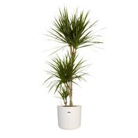 thumb-Dracaena Marginata in ® ELHO b.for soft sierpot (24x125 cm)-1
