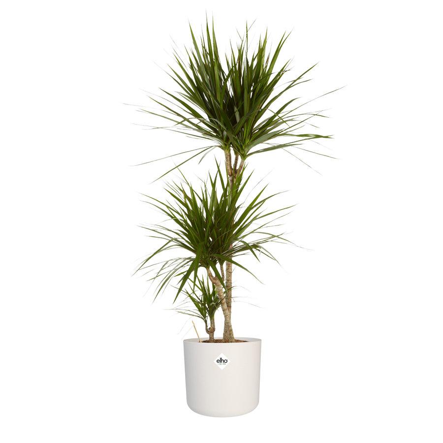 Dracaena Marginata in ® ELHO b.for soft sierpot (24x125 cm)-1
