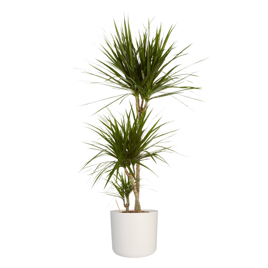 Dracaena Marginata in ® ELHO b.for soft sierpot (24x125 cm)-2