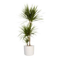 thumb-Dracaena Marginata in ® ELHO b.for soft sierpot (24x125 cm)-3