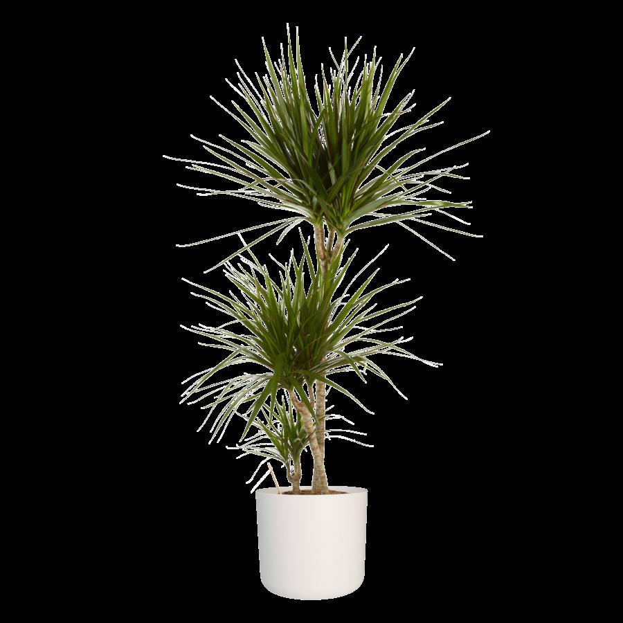 Dracaena Marginata in ® ELHO b.for soft sierpot (24x125 cm)-4