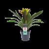 Decorum Guzmania Fancy (FANCST - 13x40 cm)