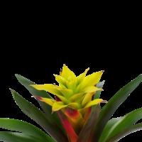 thumb-Decorum Guzmania Fancy (FANCST - 13x40 cm)-2