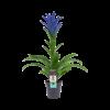 Decorum Guzmania Ocean Blue (BLUEST - 13x55 cm)