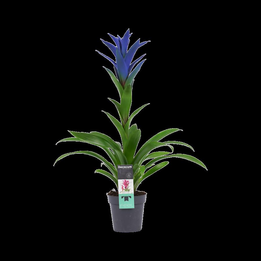 Decorum Guzmania Ocean Blue (BLUEST - 13x55 cm)-1