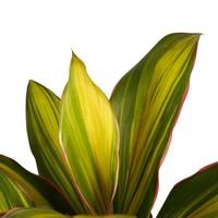 thumb-Decorum Cordyline Kiwi toef (19x60 cm)-2