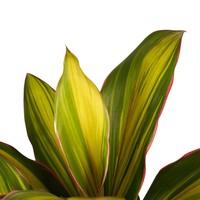 thumb-Decorum Cordyline Kiwi toef met Elho brussels white (19x60 cm)-2